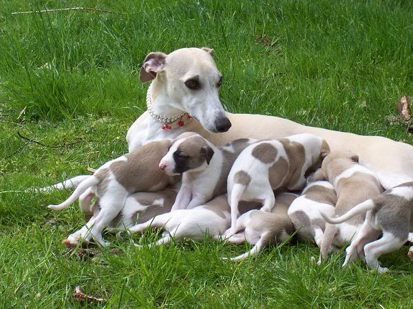 How to identify an ethical and responsible Whippet breeder